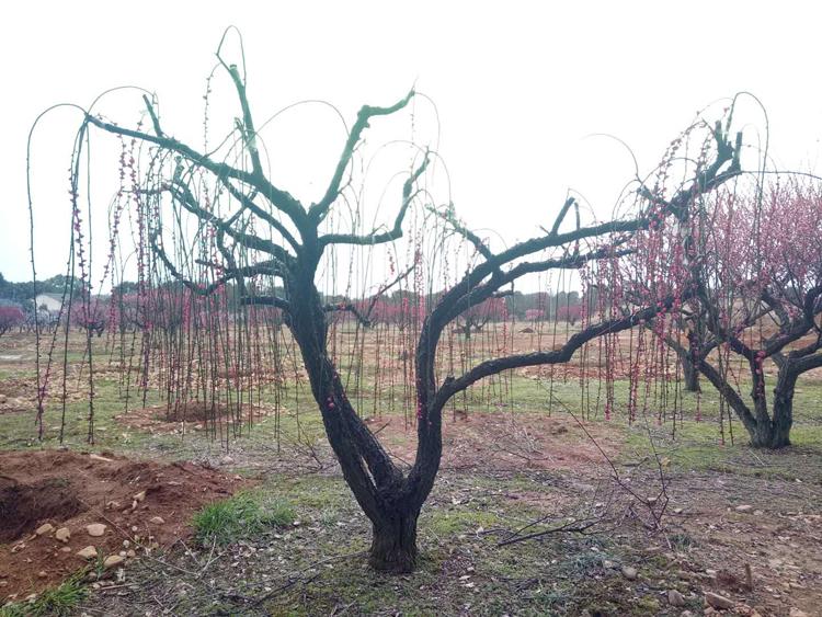 25公分垂丝红梅树