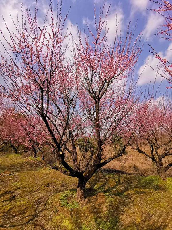 原生红梅树