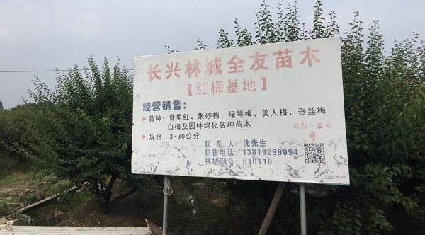 3-30公分红梅树种植基地