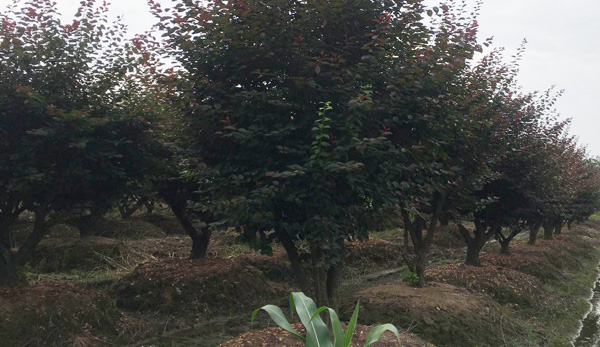 18公分红梅树种植基