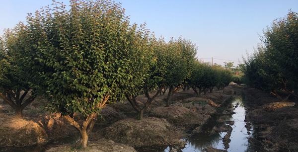 长兴全友红梅树种植基地
