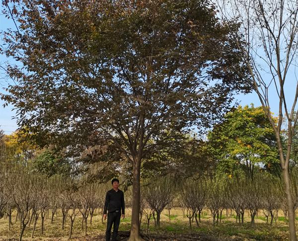 22公分榉树